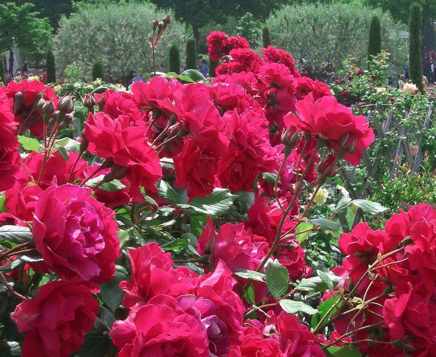 roses5