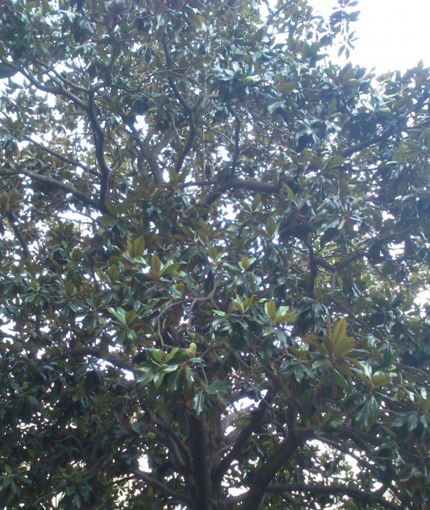 magnolia_ARA
