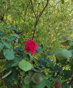 rosamarite2